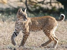 Bobcat: I've only ever seen one bobcat in my lifetime. It was close to Brookston, Indiana.