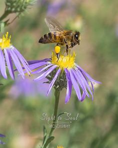 Honey Bee Photo, Nature Wall Art, Flying Bee & Aster Flowers, Macro Insect Photography Print