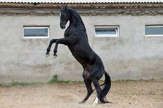 MONMARTR (Markyz - 14 Myhba) | 1994 Akhal-Teke stallion
