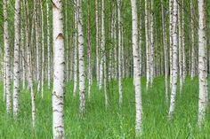 Birch Forest & Green Grass