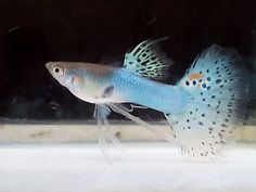 Types of Guppies - The guppy (Poecilia reticulata), also known as millionfish and rainbow fish, is one of the world's most widely distributed tropical fish, and one of the most popular freshwater aquarium fish species.