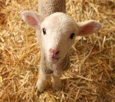 Aw, I miss having sheep!