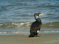 Grand cormoran (photo J. Gernigon).