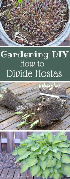 Gardening DIY, How to Divide Hostas