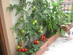 How to Grow Vegetables on the Balcony? Tricks How to Grow Vegetables on the Balcony? Diy Herb Garden, Fruit Garden, Vegetable Garden, Herbs Garden, Growing Vegetables, Growing Plants, Gardening For Beginners, Gardening Tips, Small Herb Gardens