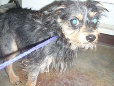 Ziggy is a black and brown male Yorkshire Terrier Yorkie mix. He is approximately 1 year old. He weighs about 17 lbs.. He has not been neutered. He is adorable. Ziggy is not good with children. Please call for information about this animal's...