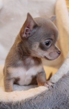 Cute Puppies And Kittens, Cute Baby Puppies, Free Puppies, Super Cute Puppies, Bulldog Puppies For Sale, Cute Baby Animals, Cute Dogs, Dogs And Puppies, Teacup Chihuahua For Sale