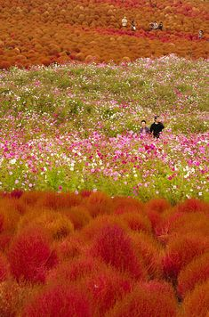"Hitachi Seaside Park in Hitachinaka, Ibaraki, Japan | The park is in full bloom during spring and tourists often visit to see 4.5 million ""baby blue-eyes"" flowers blossom"