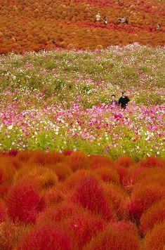 El parque Hitachi en Hitachinaka, Ibaraki, Japón - 27 Lugares increíbles que tienes que visitar antes de morir