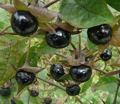 »»» Magie der Pflanzen: Die Schwarze Tollkirsche (Atropa belladonna)    #magie #natur