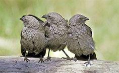 "Apostlebird also known as: Lousy Jack ""Struthidea cinerea"" Australian Birds, Beautiful Birds, Friends, Animals, Amigos, Animales, Animaux, Animal Memes, Animal"