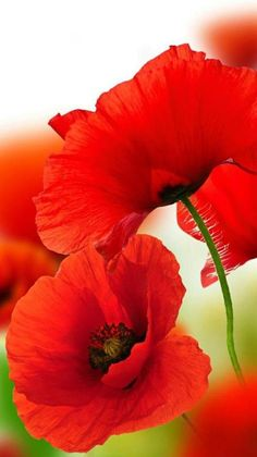 red poppies poppy God's Creations Exotic Flowers, Red Flowers, Beautiful Flowers, Pictures Of Poppy Flowers, Art Floral, Red Poppies, Poppies Art, Flower Photos, Watercolor Flowers