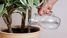 V zimě se snažíme chránit naše rostliny před nevlídným chladem, který venku vládne. Musíme o ně ale správně pečovat. Ke všem rostlinám nemůžeme přistupovat stejně a je dobré dodržovat jisté zásady. Díky dnešním deseti trikům se však Vašim pokojovým rostlinám bude dařit i tak. Budete velice mile překvapení tím jakých …