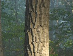 Common Types Of Oak Trees With Bark Photos For Identification Tree Bark Identification Red Oak Tree Tree