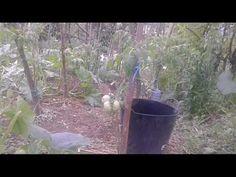 Bicarbonat de sodiu pentru rosii - YouTube Organic Fertilizer, Petunias, Youtube, Garden, Tomatoes, Plant, Garten, Gardens, Lawn And Garden