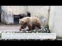 Aujourd'hui, l'ours Napa vit à Arosa Terre des Ours et peut découvrir le refuge naturel de 2,8 hectares avec les autres ours Amelia et Meimo. Son passé était tout autre. Napa est né dans un zoo en 2006. Il a probablement été amené dans un cirque serbe lorsqu'il était encore assez jeune. On suppose que Napa ait été détenu pendant des années dans une petite cage sur un terrain attenant. Heureusement, sa souffrance fait partie à présent du passé. En juillet 2018, QUATRE PATTES a pu le sauver et… Refuge, Brown Bear, Hui, Polar Bear, Amelia, Cage, Animals, Arosa, Animales