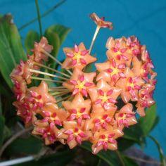 Hoya valmayoriana Cutting IML 0831 [0831x] - $10.00 : Buy Hoya Plants Online in Many Species from SRQ Hoyas Today!