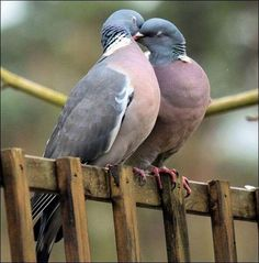 Kissing wood pigeons