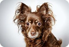Chihuahua, Giselle is up for adoption at the Humane Society of New York.