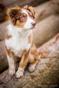 Australian Shepard puppy in the forest Nina Herr Fotografie - www.nina-herr.de