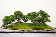 bonsai-chinese elm forest