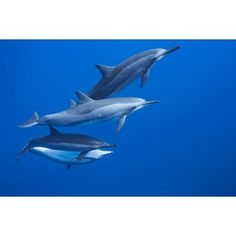 Four spinner dolphin (Stenella longirostris) off the island of Lanai Hawaii United States of America Canvas Art - Dave Fleetham Design Pics (19 x 12)