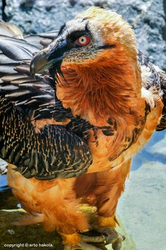 Bearded Vulture http://pinterest.com/camillecassard/mostly-feathers/