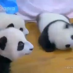 Zoo Animals Video, Baby Zoo Animals, Cute Little Animals, Cute Funny Animals, Cute Cats, Baby Panda Bears, Baby Pandas, Panda Facts, Panda Bebe