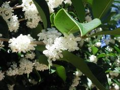 Sweet Olive Tree blossoms.