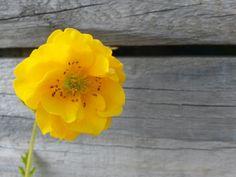 "Geum ""Sunrise"" ( Geum flore plena ) Yellow Flowering Plants, Planting Flowers, Sunrise, Rose, Garden, Flowers, Pink, Garten, Lawn And Garden"