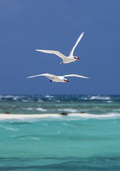 Red-tailed tropicbirds on East Island, French Frigate Shoals, Northwestern Hawaiian Islands.  Photo by Andy Collins