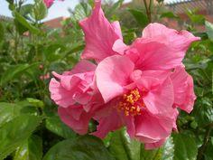 un bel hibiscus