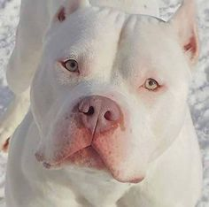 Do you love Pitbull? If yes read the types of Pitbull Breeds that are really popular right now. This list of Pitbull breed is very famous because of their extra ordinary characteristics Cute Puppies, Cute Dogs, Dogs And Puppies, Doggies, Pit Bull Puppies, Chihuahua Dogs, Baby Animals, Funny Animals, Cute Animals
