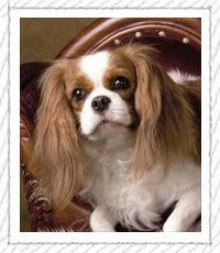 gorgeous!   .......cavalier King Charles