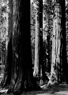 The trees give an ordered and somewhat repeating effect. I like the way they look so straight and ordered but they are still of different depths and sizes so there's still a bit of variation. Ansel Adams