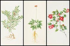 아모레퍼시픽이 5일 한국 고유의 원료식물을 묘사한 세밀화 100점이 수록된 한국 원료식물도록 '비욘드플라워(Beyond Flower)'를 출간한다고 밝혔다. 왼쪽부터 원료식물도록에 실린 녹차, 인삼, 동백나무 세밀화다. /아모레퍼시픽 제공.
