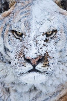 Post with 2984 votes and 106987 views. Tagged with tiger, snow; Shared by Tiger covered with snow Animals And Pets, Funny Animals, Cute Animals, Wild Animals, Animals In Snow, Baby Animals, Angry Animals, Fierce Animals, Nature Animals