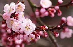 cherry blossom branch photography