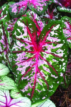 Calypso....caladium - incredibly colorful with several shades of green, several shades of pink with a bit of white and red thrown in; quite an eye-catching plant!