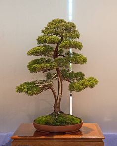 Genévrier Bonsai tree