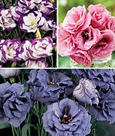 Lisianthus Plants - They are so beautiful....