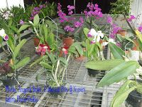 Phalaenopsis Orchid House: Techniques In Growing Orchids Especially For Anggr...