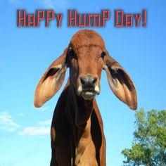 Long-Eared Humpy Calves Make Her Smile: Meet Texan Melissa Laurent #WomenInAg