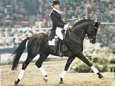E.H. Hohenstein 1991 Trakehner stallion ( E.H.Caprimond x  St.Pr.u.E.St. Helena XIV, Matador) strength to strength from Trakehner horse of the year ,  FEI dressage horse, successful sire