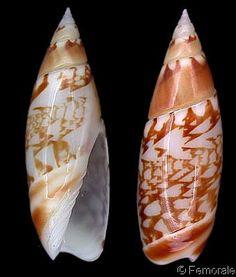 Olivella (Olivella) gracilis Shell Collection, Sea Shells, Fish, Seashells, Pisces, Shells