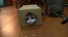 Maru Stuck in Box While Hana Plays With Him - http://www.catnipdaily.com/maru-stuck-in-box-while-hana-plays-with-him/