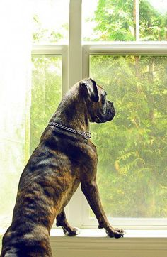 """See our website for more info on """"boxer puppies"""". It is actually a great spot to find out more. Boxer Dog Puppy, Boxer Bulldog, Rottweiler Puppies, Cane Corso, Boxers, Pet Dogs, Dogs And Puppies, Doggies, Labrador Golden"""