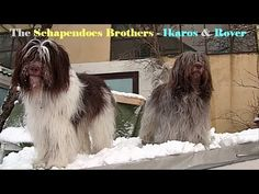 Videos of Our Schapendoes Dogs We have got our own channel on YouTube now: https://www.youtube.com/channel/UCvKD9qRcr1_A6KAMPimddDg