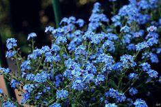 #niezapominajki #kwiaty #fotografia