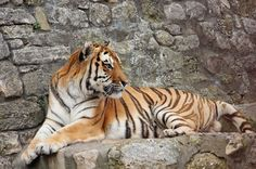 Bengal #Tiger enjoying beautiful sunny day after good meal in the Zoo Do you like tigers? #photography #animal